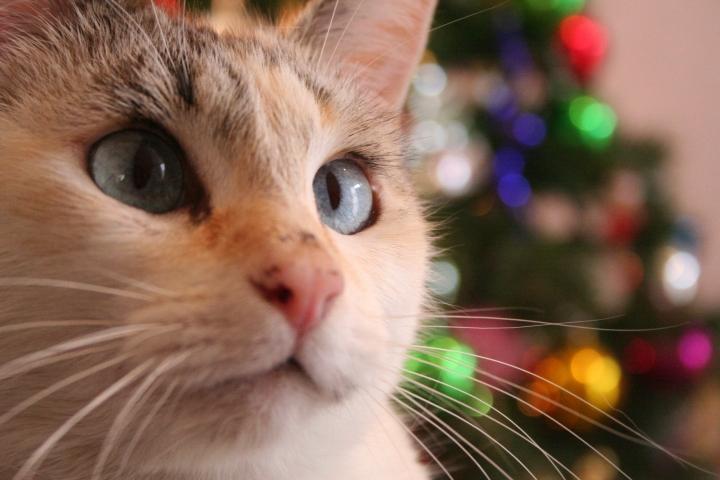 christmas-cat-1382643